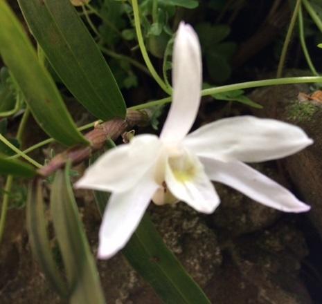 セッコクの花.jpg